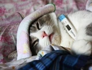 kucing sakit, suhu badan turun