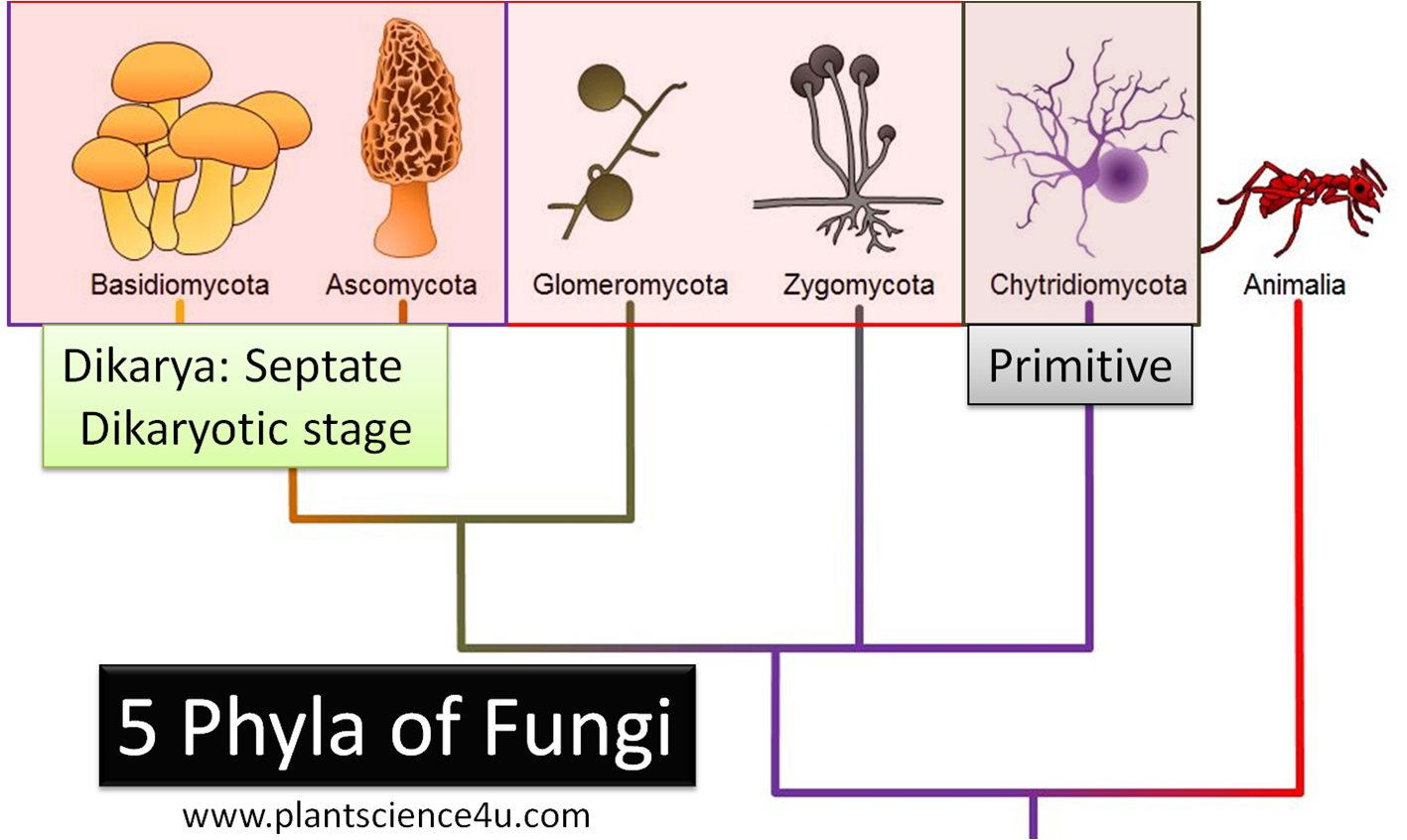 Classification of Fungi into 5 Phyla flow chart with Examples