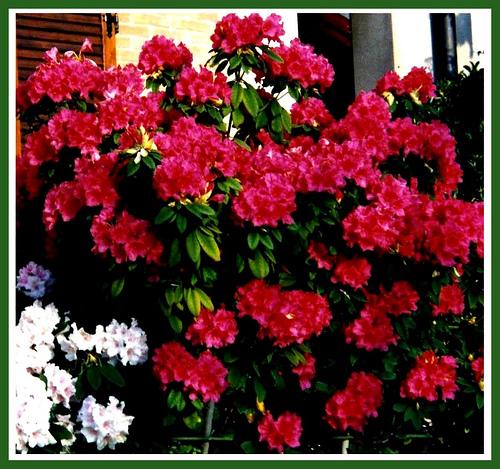 Piante e fiori rododendro rhododendron for Arbusti sempreverdi in vaso