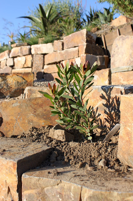 A newly planted Leucadendron 'Wilsons Wonder'