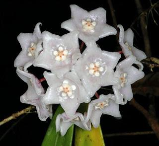 โฮย่าภูหลวง โฮย่าของไทย ภูหลวง จ.เลย Hoya-phuluangensis