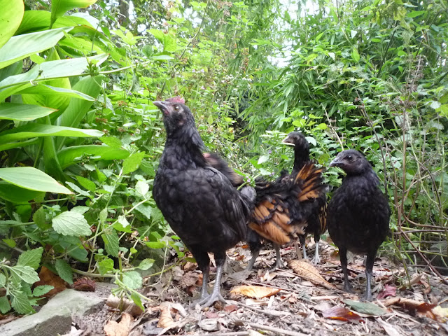 Poultry bantam chicks foraging in a forest garden