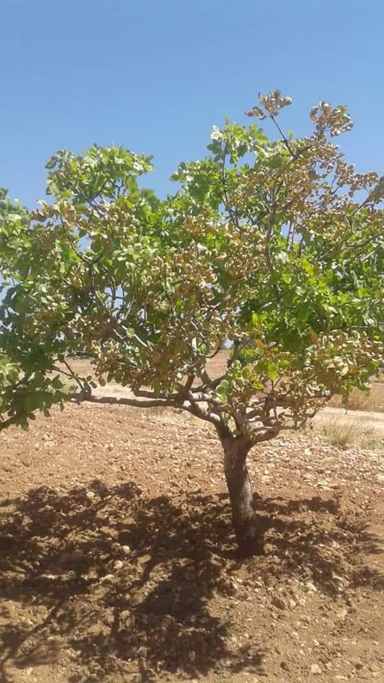 Fıstık ağaçlarında yaprak kurumasına dikkat