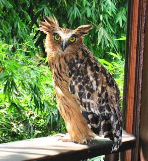 burung hantu buffy fish owl, jenis burung hantu yang susah dipelihara