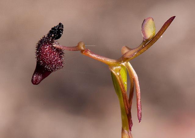 """Sexy"" orchid (Drakaea glyptodon)"