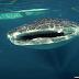 Berenang Bersama Hiu Paus di Gorontalo
