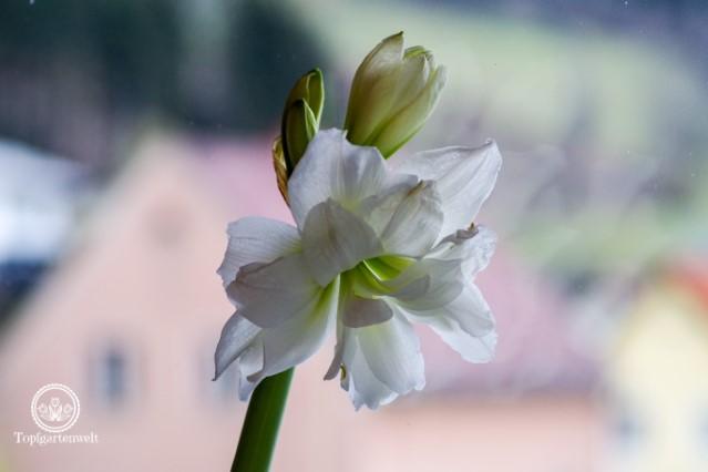 Ritterstern | Amaryllis ist anfällig für den Roten Brenner - Gartenblog Topfgartenwelt