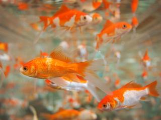 Ikan Mas Komsumsi Untuk Pemula