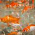 Panduan Lengkap Budidaya Ikan Mas Konsumsi