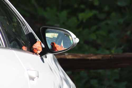 Cardinal In Car Mirror.
