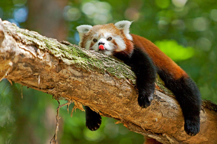 Панда фото большой панды  komotozru
