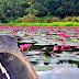 Searching for the Lotus-Eaters in Lake Sebu | South Cotabato