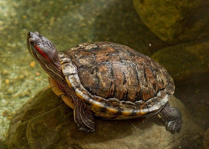 Bagaimana Kura-kura Berkembang Biak? Belajar Sampai Mati, belajarsampaimati.com, hoeda manis