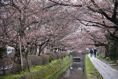 Cherry Blossom Watching at Philosopher's Path Kyoto Japan