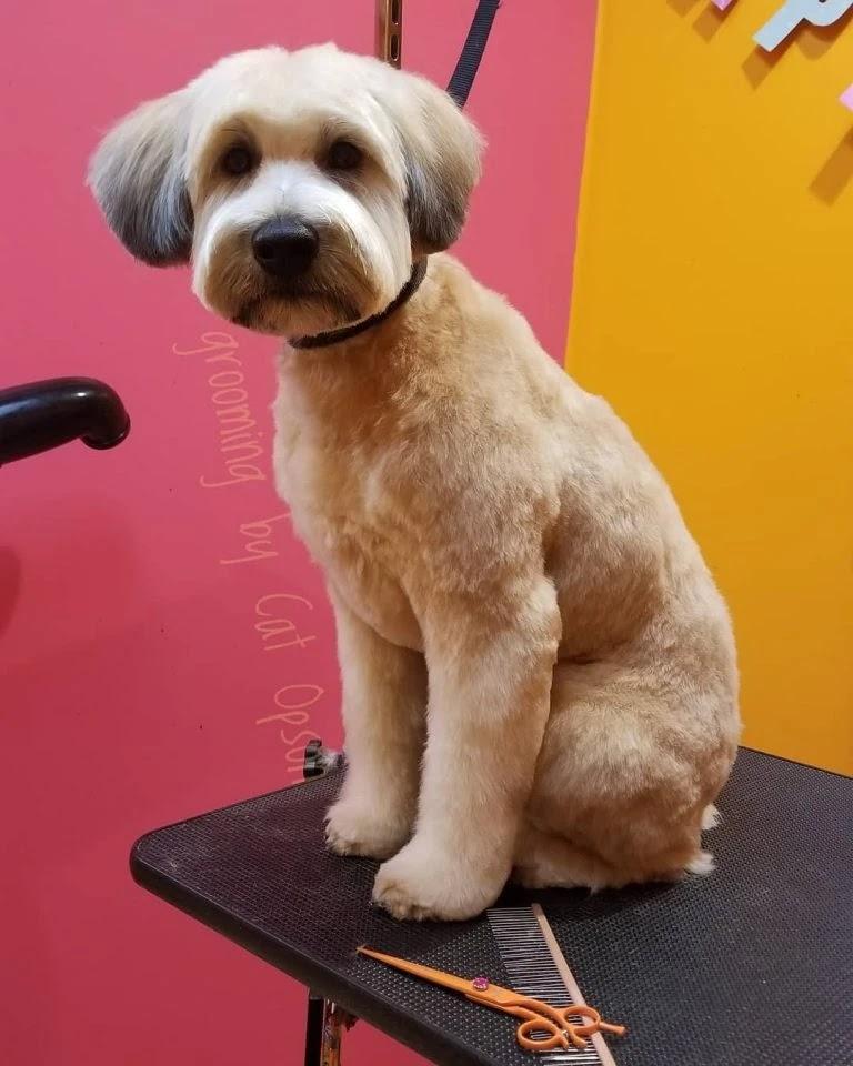 labradoodle-puppy-cut