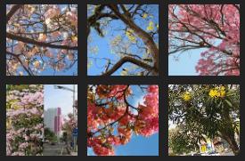 Gambar Pohon Tabebuya