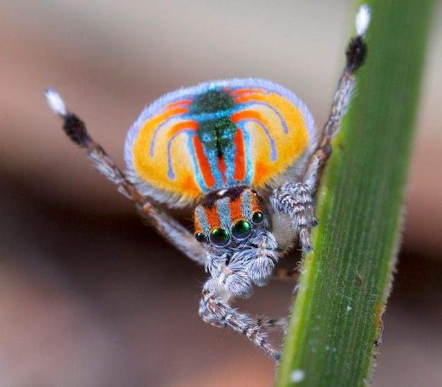 عنكبوت الطاووس