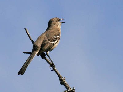 Photo of Northern Mockingbird singing from a tree top
