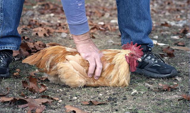 نابل: التحقيق مع المعتمد ورئيس البلدية في قضية سرقة 7 دجاجات!