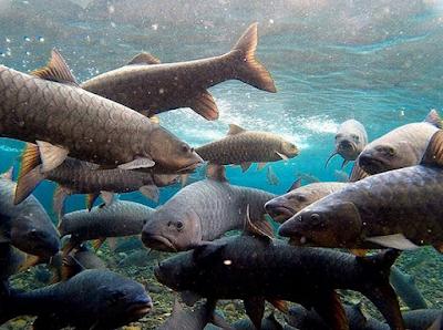 Wisata Ikan Dewa Cibulan | Wisata Rekerasi Keluarga