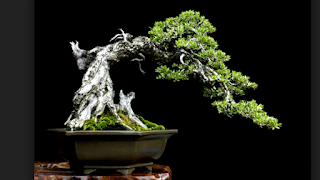gambar bonsai sentigi karang