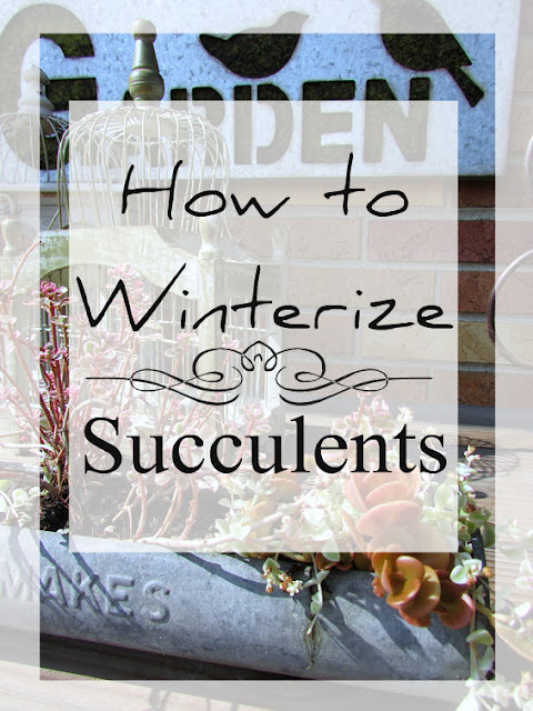 Caring for succulents during winter time