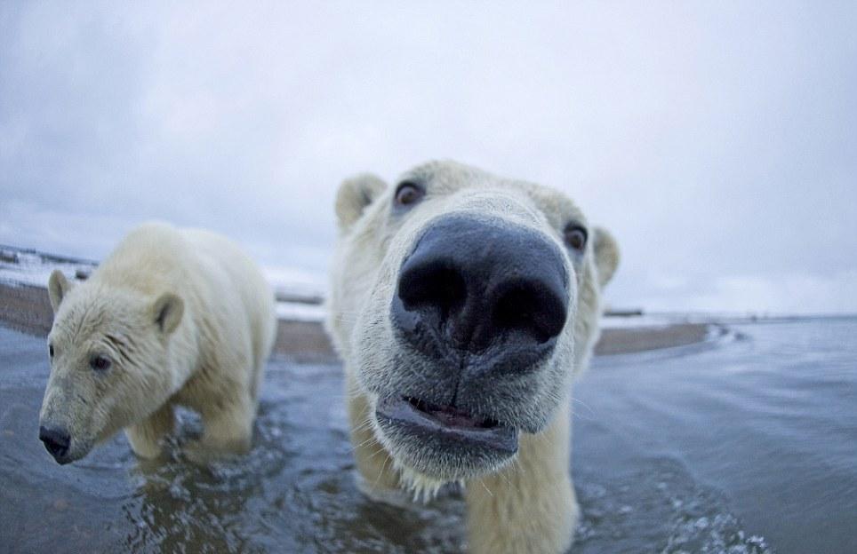 الدببة القطبية 0_94f0d_259b6001_ori
