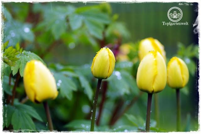 Gartenblog Topfgartenwelt Wetter: gelbe Tulpen im Schneeregen