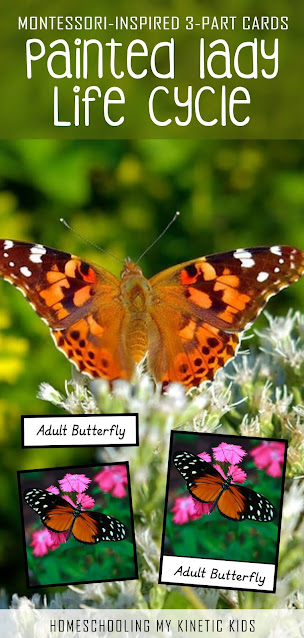 If you're growing the Insect Lore butterflies this spring, you need to grab these FREE Painted Lady 3-part Cards for more learning fun!