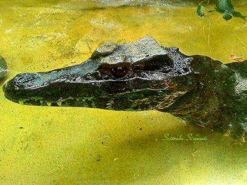 Paleosuchus Trigonatus Schneider 1801