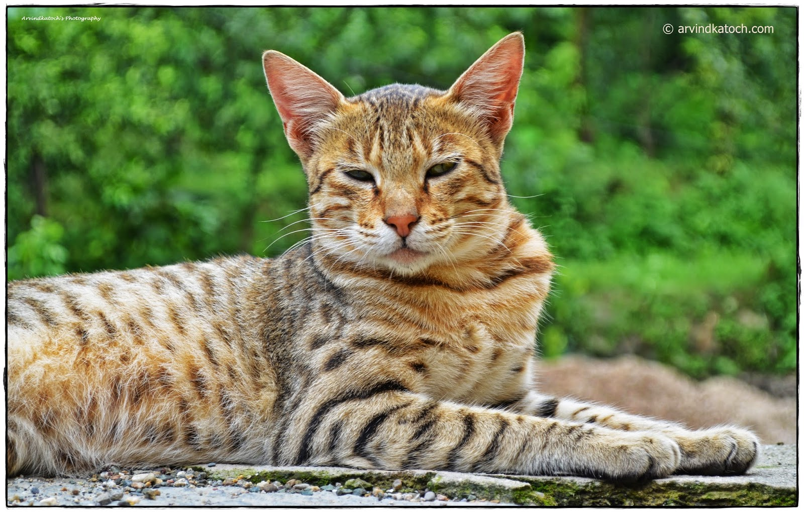 Cat, Wild Cat, Himalayan Cat, Himachali Cat,