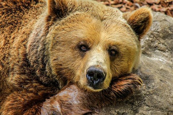 Goriano Sicoli (AQ): orsa in centro abitato, monitoraggio dei CC Forestali