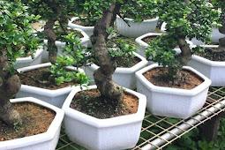 Cara Menanam Pohon Bonsai Dari Bibit Bonsai
