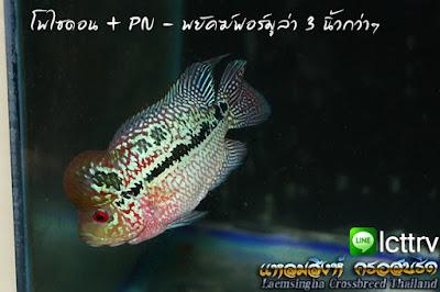 ขายปลาหมอสี สวยๆ สาย โพไซดอน + PN - พยัคฆ์ฟอร์มูล่า 3 นิ้วกว่าๆ