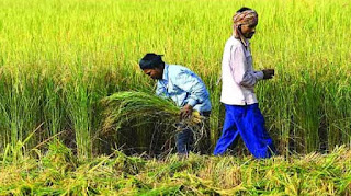 Rajasthan kharif crop cultivation update