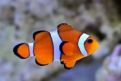 Cara Merawat Ikan Hias Air Laut Di Aquarium