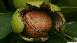 walnut fruit images wallpaper