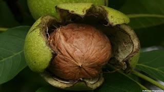 walnut fruit images wallpaper