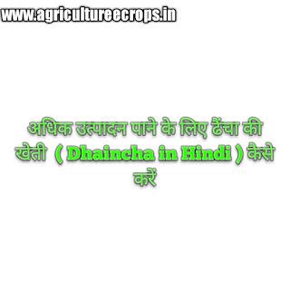 अधिक उत्पादन पाने के लिए ढैंचा की खेती  ( Dhaincha in Hindi ) कैसे करें