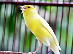 Kenali Burung Kenari Sebelum Memeliharanya