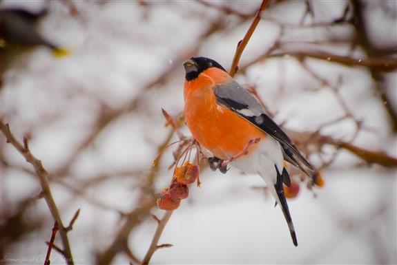 Şakrak Kuşu - Ş Hayvan İsimleri