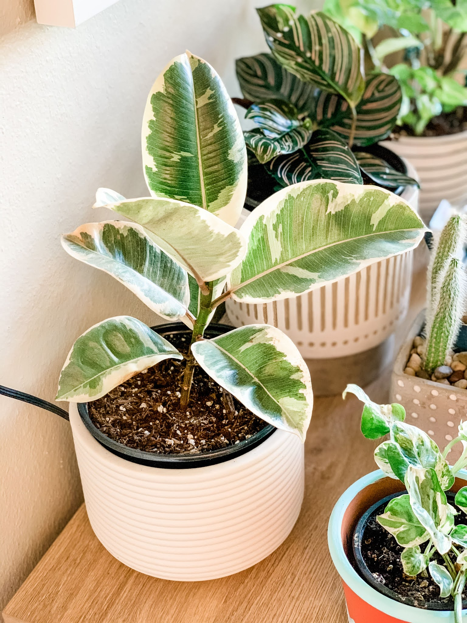 Ficus tineke under an indoor grow light