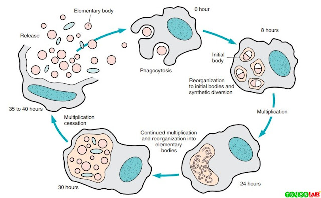 Life cycle of Chlamydia.