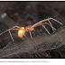Comportamento paternal inédito entre aranhas é descrito em espécie existente no Brasil