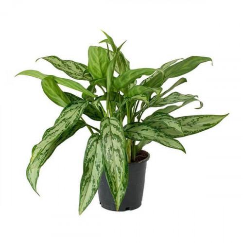 نبتة الأجلونيما أكثر النباتات جمالاً وسهلة الاعتناء