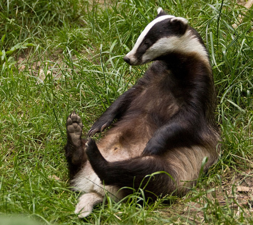 Latest Funny Pictures: Funny Badger