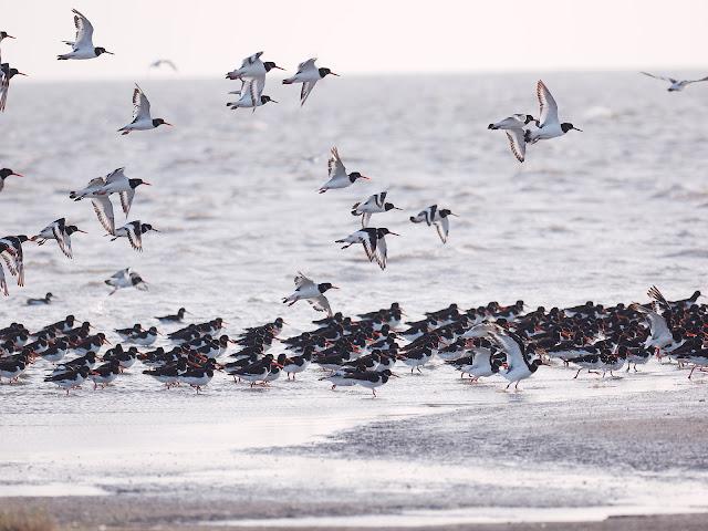 Austernfischer warten auf die Ebbe (300mm, f/4, 1/1250sek, ISO200)