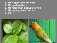 Manfaat Dan Khasiat Daun Binahong Untuk Lovebird