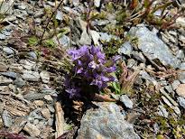 [Gentianaceae] Gentianella engadinensis - (Genzianella dell'Engadina)