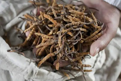 You will be stunned by knowing the value of this sexual enhancer insect.